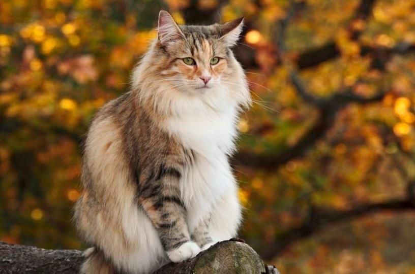 喂养挪威森林猫时需要注意什么?